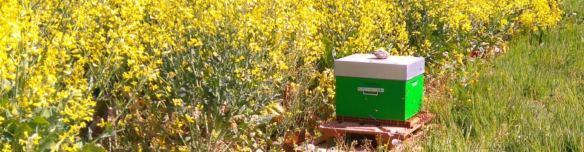 image d'une ruche dans un champ. Photo : Amaury Cormier